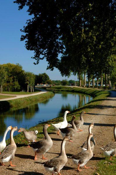 Le canal de la Sauldre et ses oies